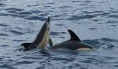 Dolphins on Faial, Azores